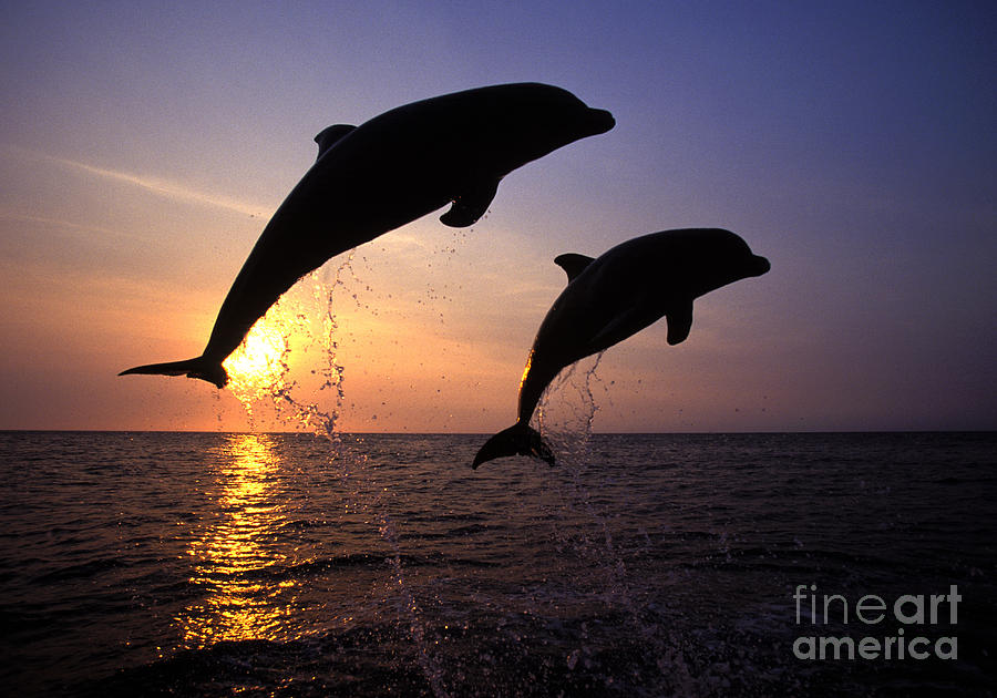 Cetacean Photograph - Bottlenose Dolphins by Francois Gohier and Photo Researchers