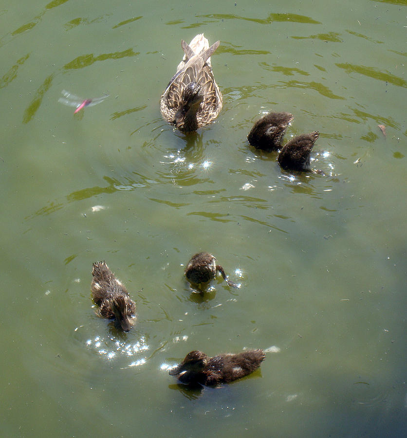 Duck Photograph - Bottoms Up by David G Paul