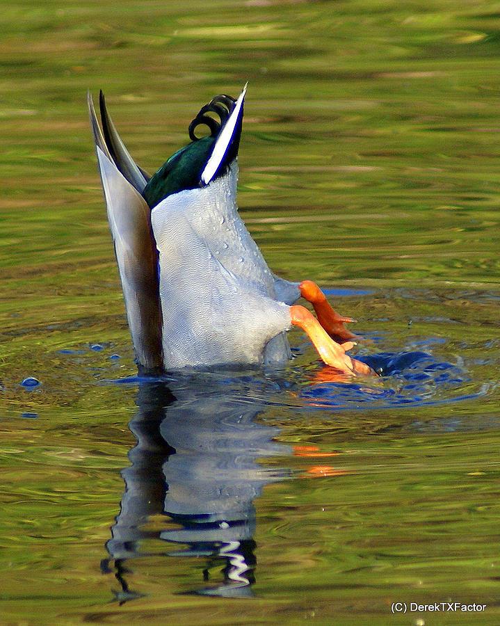 Male Photograph - Bottoms Up Mallard by DerekTXFactor Creative