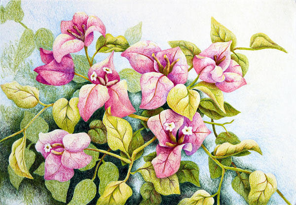 bougainvillea in colored pencil painting by nancy goldman