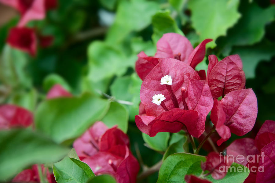 Bougainvillea Photograph - Bougainvillea San Diego Vibrant Red Flowers Closeup  by Sherry  Curry