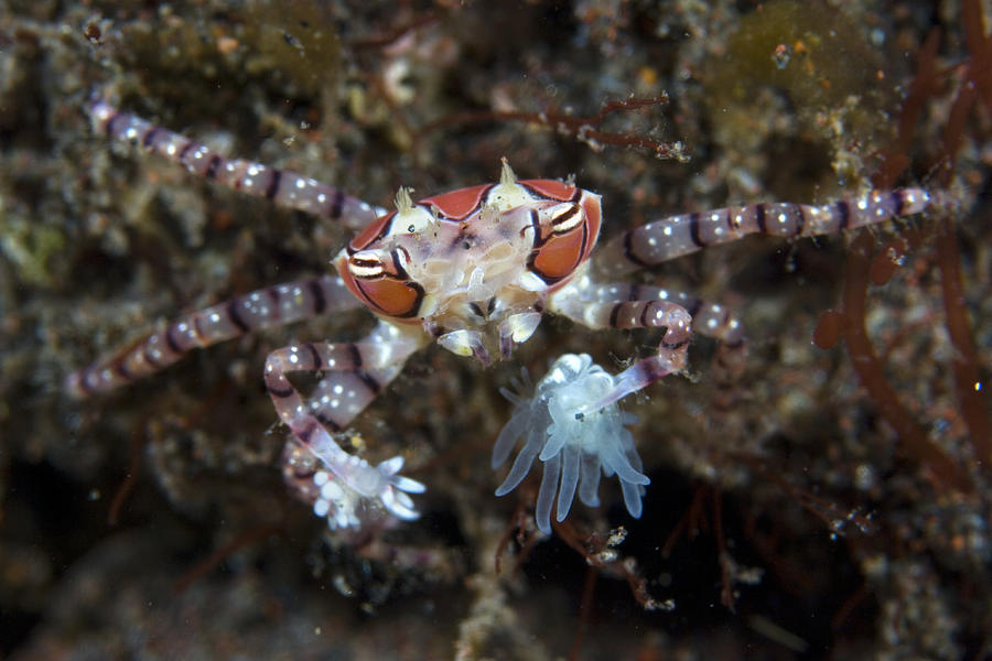Boxer Crab Photograph - Boxer Crab by Matthew Oldfield