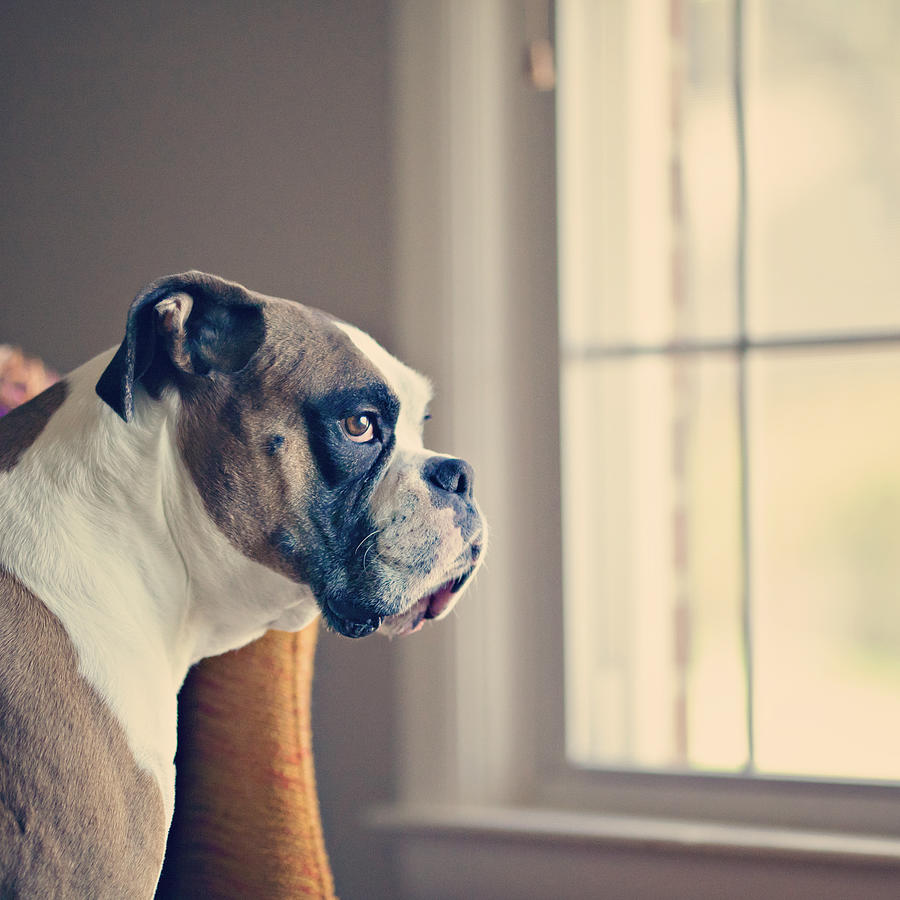 Square Photograph - Boxer Dog by Laura Ruth