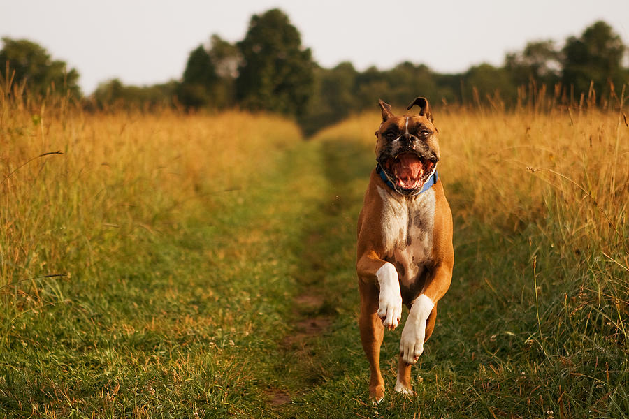 Boxer Photograph - Boxer Dog Running Happily Through Field by Stephanie McDowell