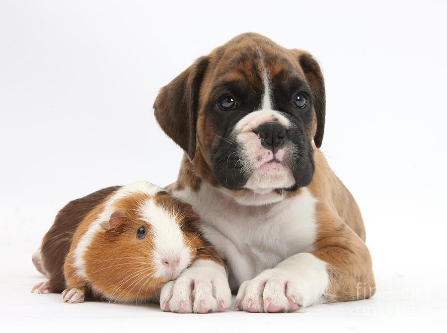 Nature Photograph - Boxer Puppy And Guinea Pig by Mark Taylor