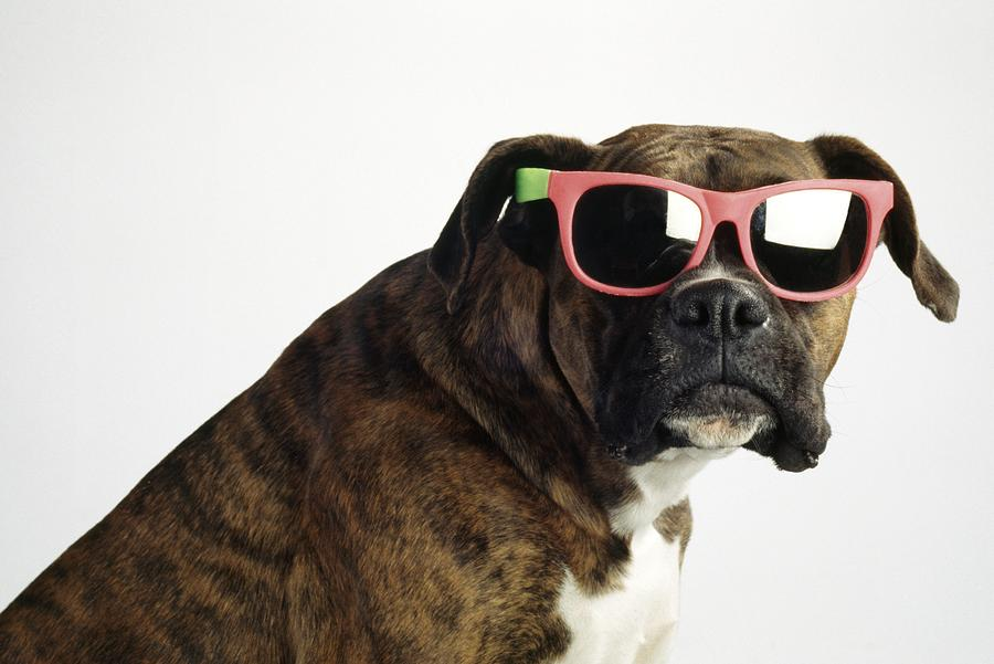 Animals Photograph - Boxer Wearing Sunglasses by Ron Nickel