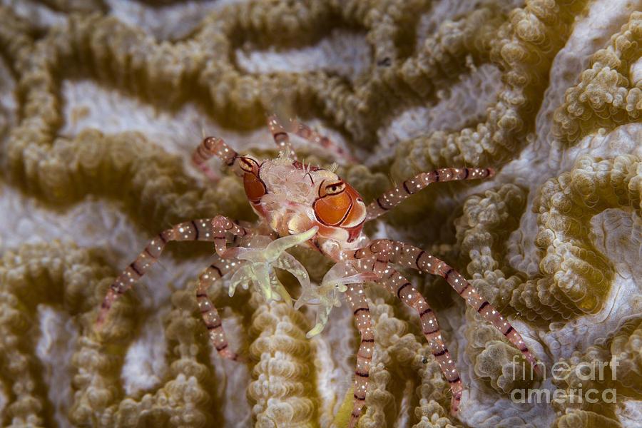 Raja Ampat Photograph - Boxing Crab In Raja Ampat, Indonesia by Todd Winner