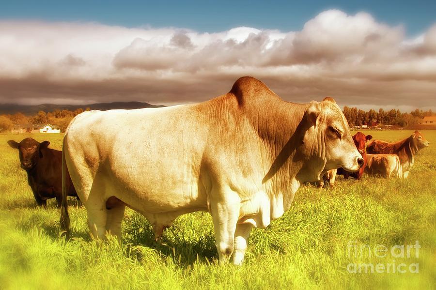 Ranch Photograph - Brahma Bull And Harem by Gus McCrea