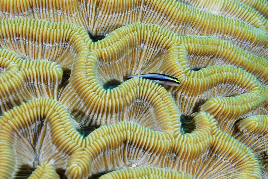 Horizontal Photograph - Brain Coral by Robin Wilson Photography