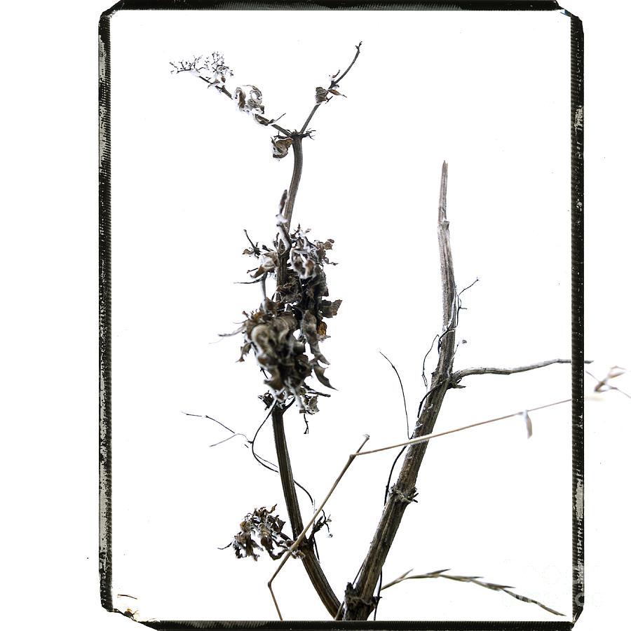 Worms Photograph - Branch Of Dried Out Flowers. by Bernard Jaubert