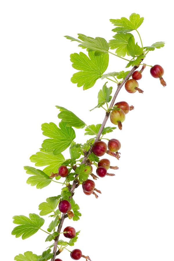 Fruits Photograph - Branch Of Prickly Gooseberry by Aleksandr Volkov