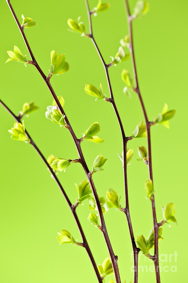 Spring Photograph - Branches With Green Spring Leaves by Elena Elisseeva