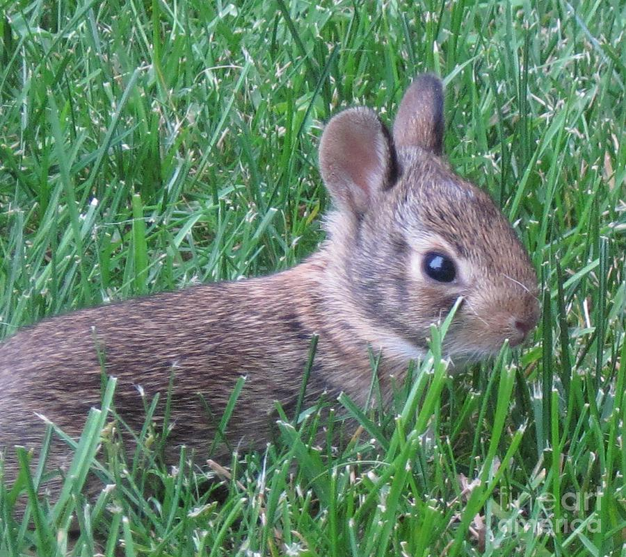 Animals Photograph - Brave Yard Bunny by Donna Cavender