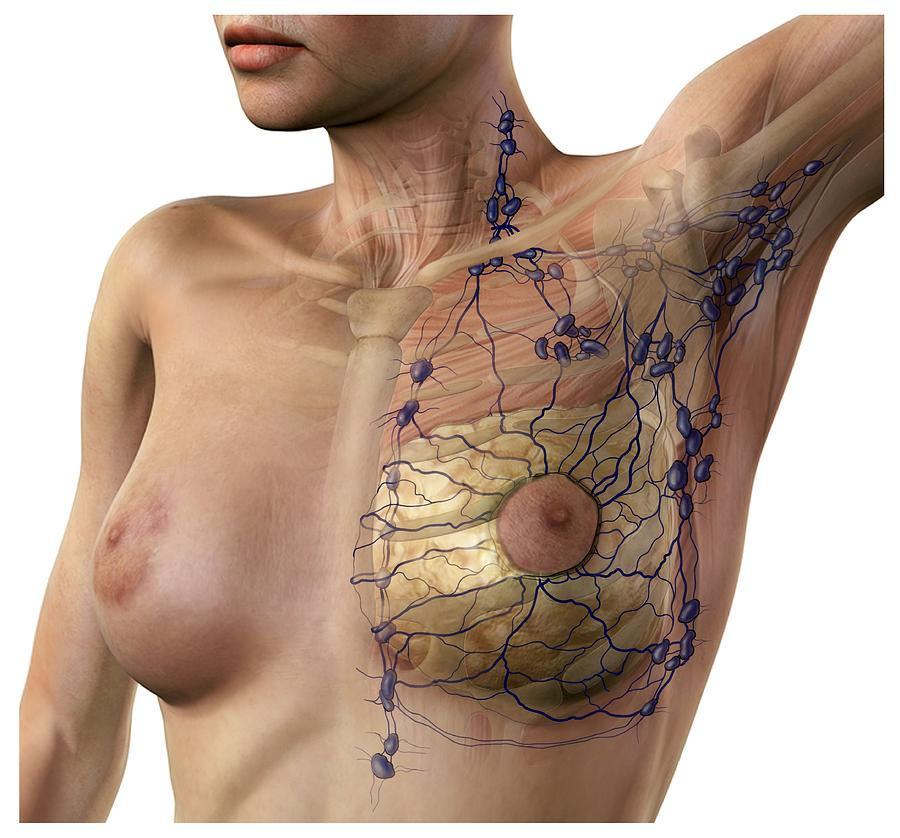 Breast Photograph - Breast Lymphatic System, Artwork by D & L Graphics