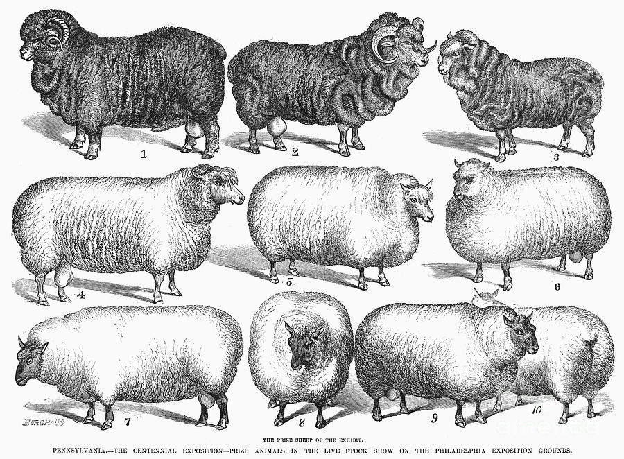 1876 Photograph - Breeds Of Sheep, 1876 by Granger