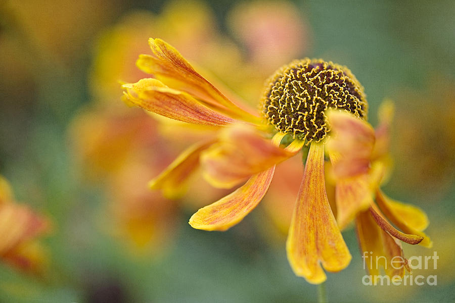 Helenium 'karneol' Photograph - Bright And Breezy  by Jacky Parker