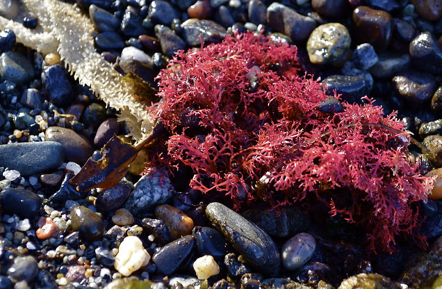 Algae Photograph - Bright Beach Life by Anna Bree