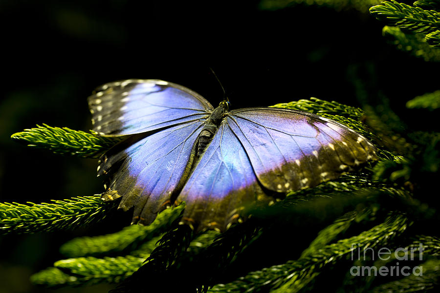 Butterfly Photograph - Bright Blue  by Leslie Leda