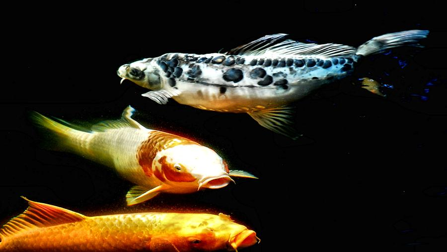 Koi Photograph - Bright Colored Fish by Don Mann