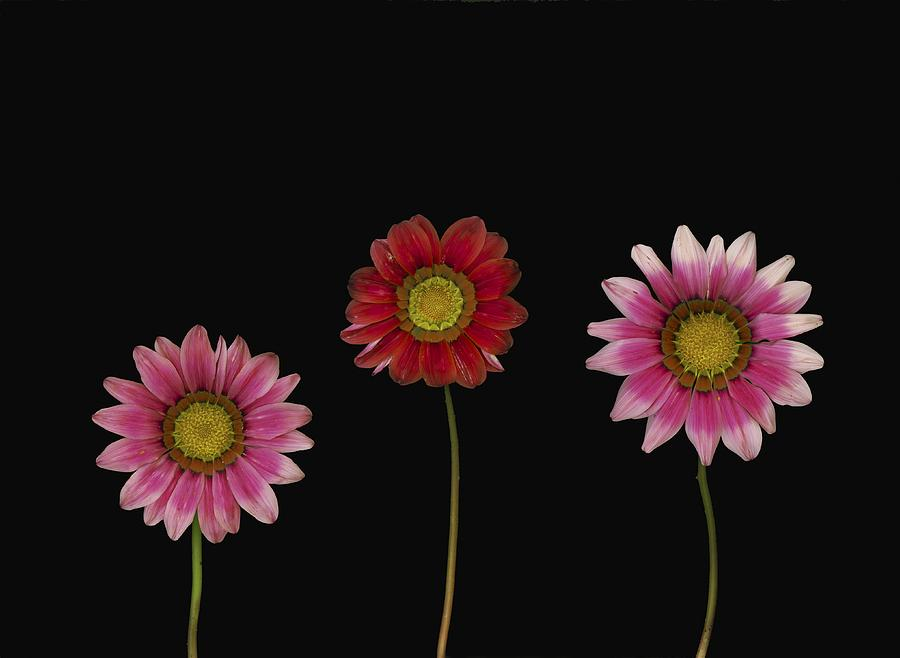 Arranged Photograph - Bright Colorful Daisies by Deddeda