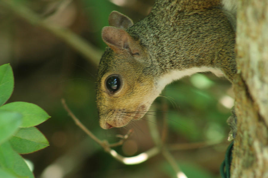 Eastern Gray Squirrel Photograph - Bright Eyes by Sean Green