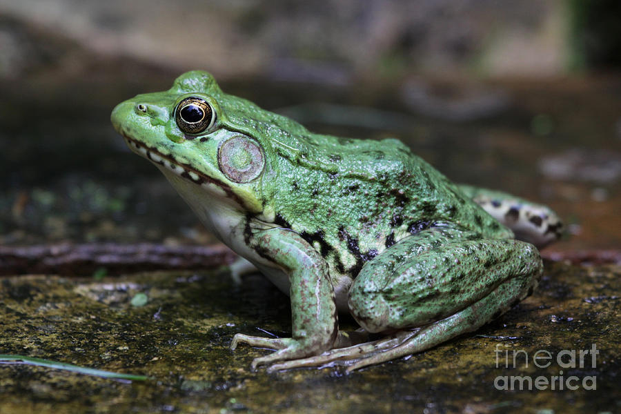 Bullfrog Photograph - Bright Green Bullfrog by Chris Hill