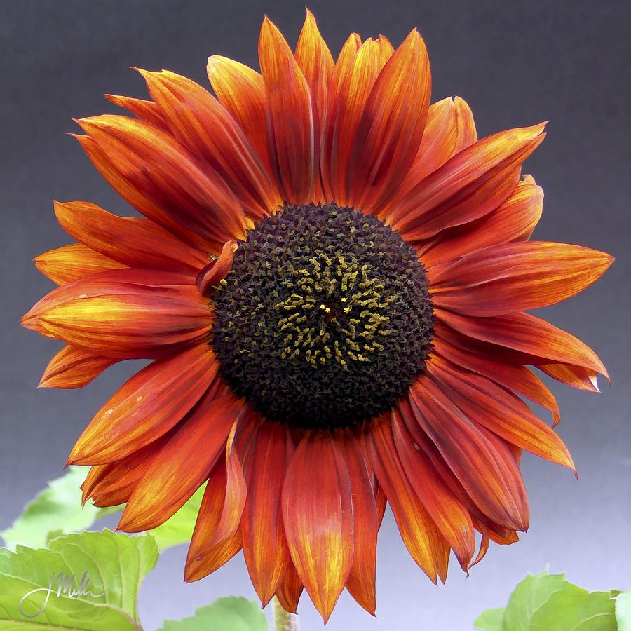 Bright Intense Sunflower Painting by Joshua Miller