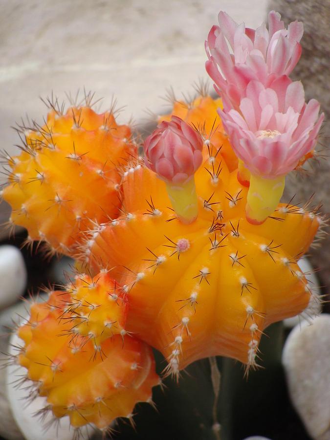 Cactus Photograph - Bright Orange Cactus by Emma Manners