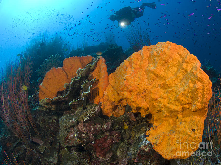 Invertebrate Photograph - Bright Orange Sponge With Diver by Steve Jones