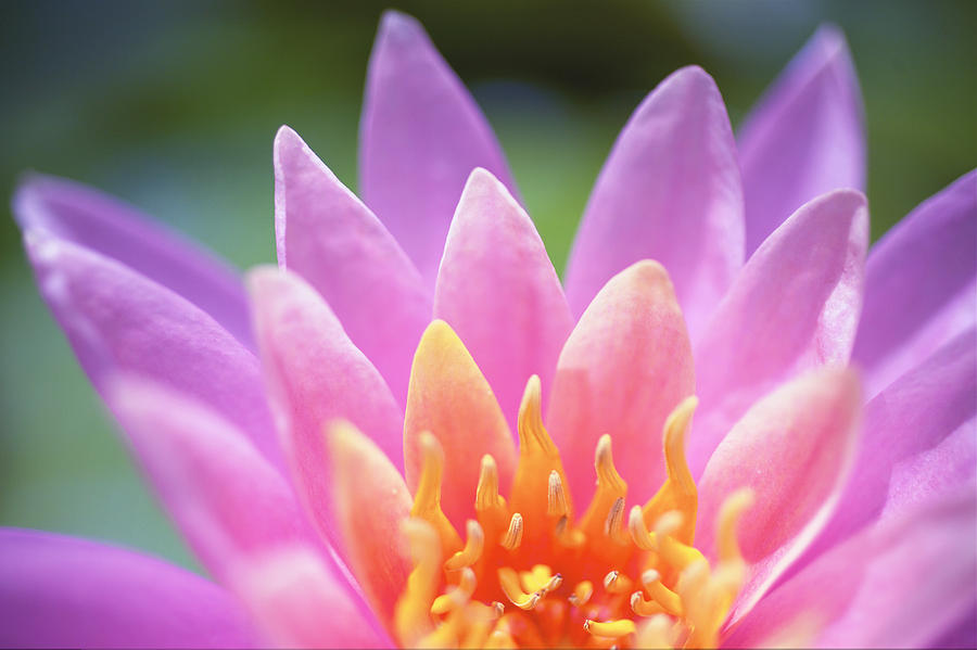 Beautiful Photograph - Bright Pink Water Lily by Kicka Witte