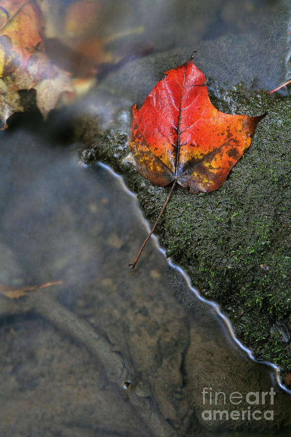 Stream Photograph - Bright Red Leaf Near A Stream by Chris Hill