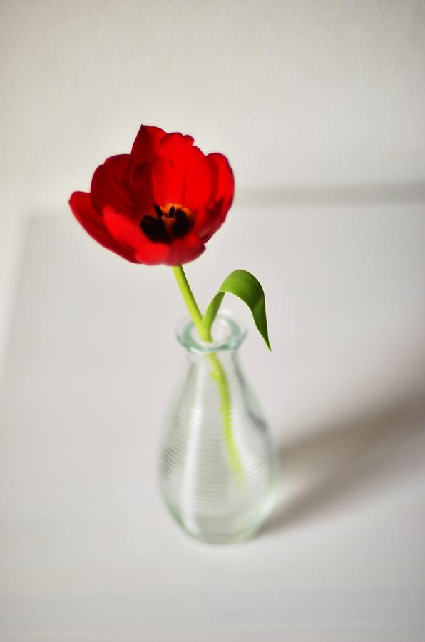 Bright Red Tulip In Small Vase Photograph By Photo By Ira Heuvelman