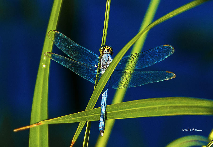 Heron Haven Photograph - Brilliant Dragon Fly by Edward Peterson