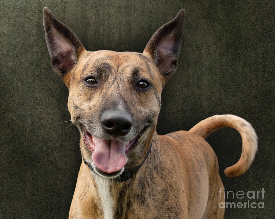 Dog Photograph - Brindle Dog With Great Ears by Ethiriel  Photography