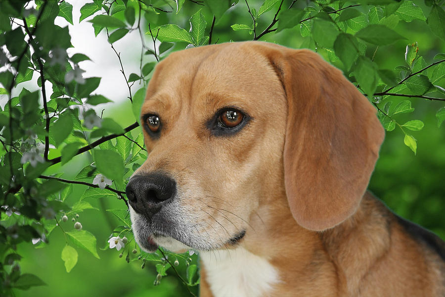 Beagles Photograph - British Beauty by Christine Till