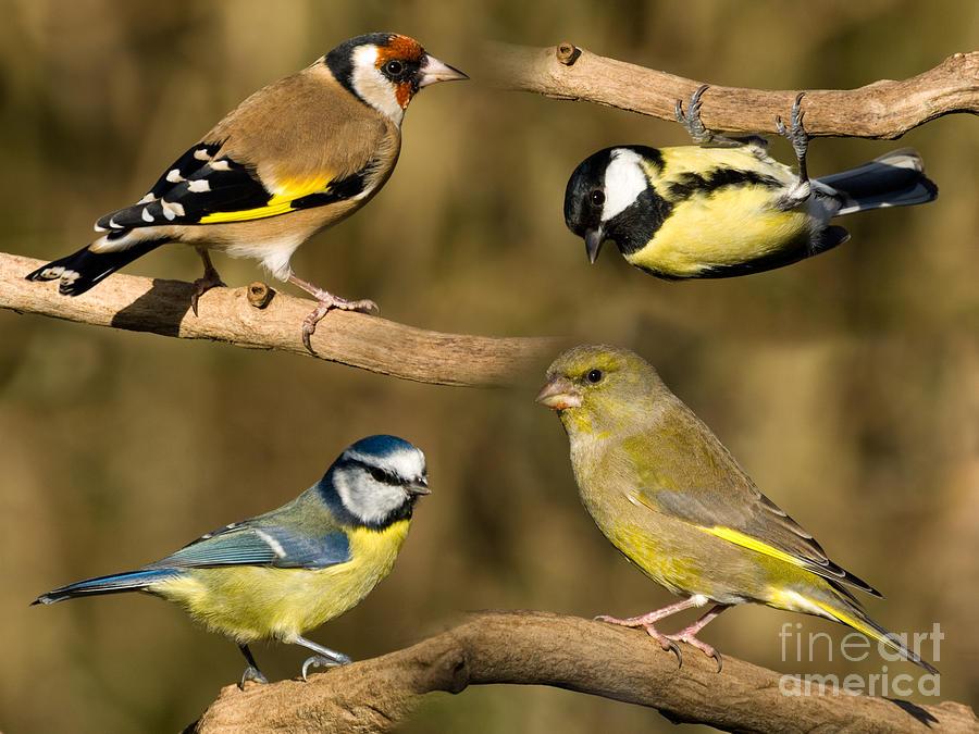 Birds Photograph - British garden birds by Steev Stamford