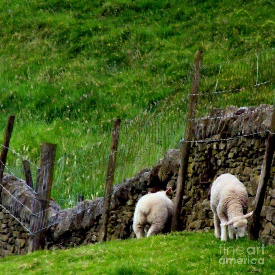 Lamb Photograph - British Lamb by YoursByShores Isabella Shores