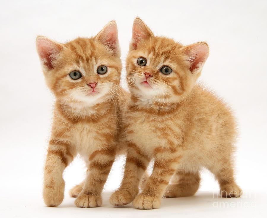 British Shorthair Red Tabby Kittens Photograph By Jane Burton