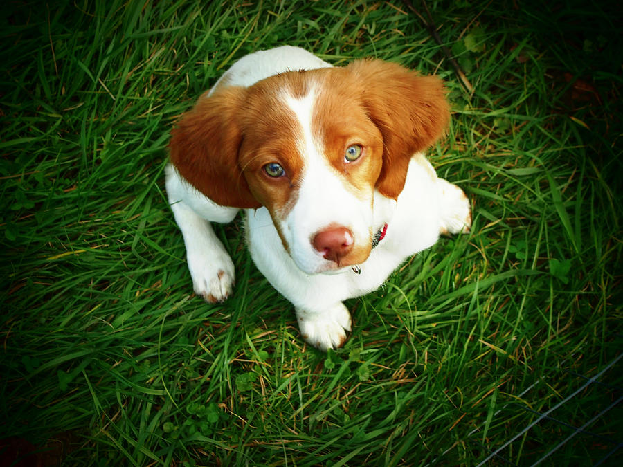 Horizontal Photograph - Brittany Spaniel Puppy by Meredith Winn Photography