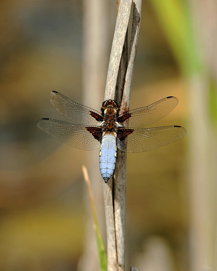 Chaser Photograph - Broad Bodied Chaser by Paul Scoullar