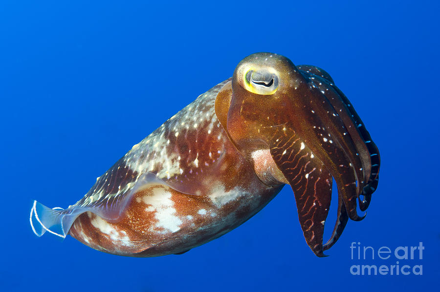 Invertebrate Photograph - Broadclub Cuttlefish, Papua New Guinea by Steve Jones