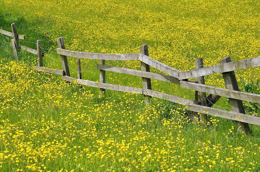 Horizontal Photograph - Broken Fence And Buttercup Field by Photos by R A Kearton