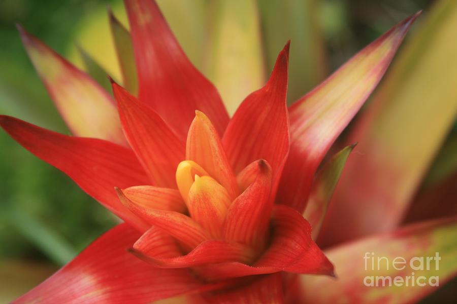 Aloha Photograph - Bromeliad by Sharon Mau