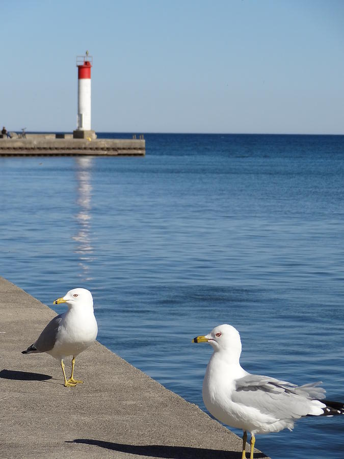 Bronte Photograph - Bronte Lighthouse Gulls by Laurel Best