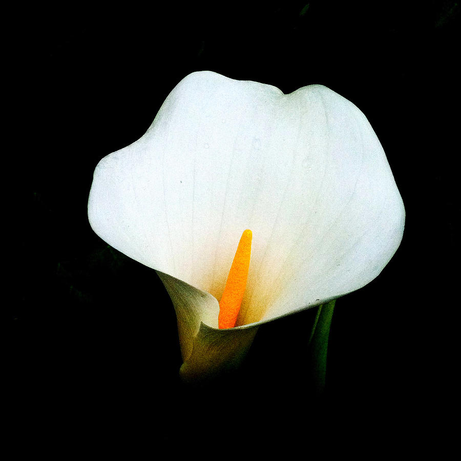 Lily Photograph - Brooklyn Lily  by Frank Winters
