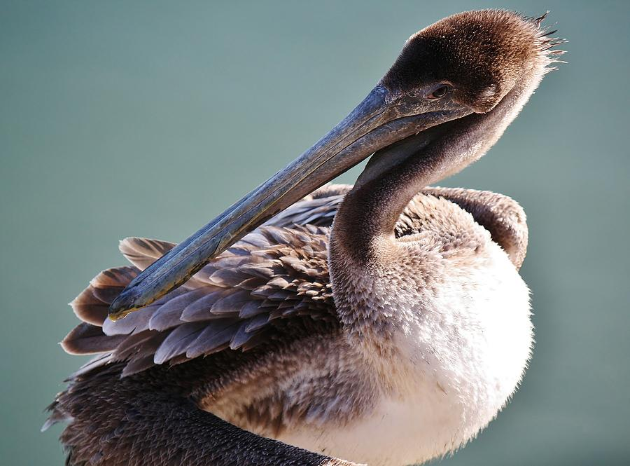 Brown Pelican Photograph - Browm Pelican Up Close by Paulette Thomas