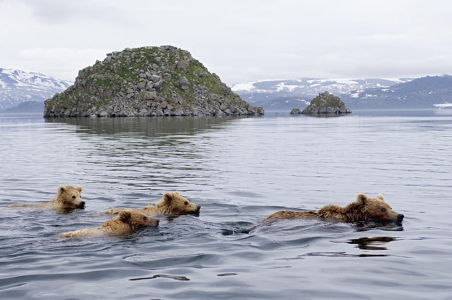 Brown Bear And Cubs in Kamchatka Photograph by Sergey Gorshkov