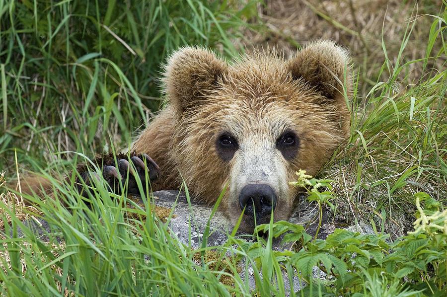 Brown Bear Cub, Kamchatka Photograph by Sergey Gorshkov