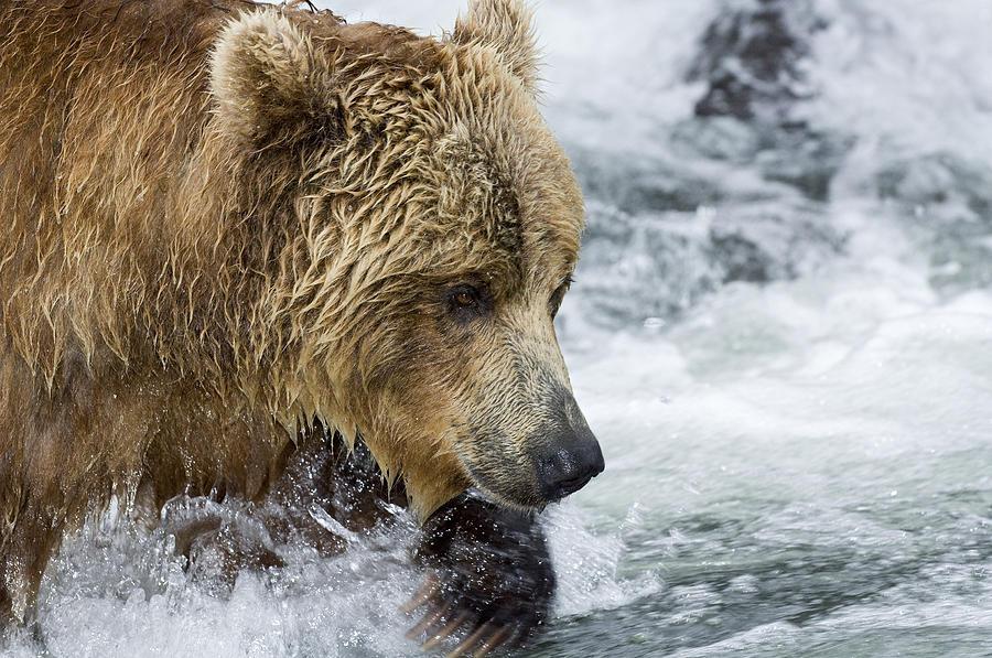 Brown Bear Fishing for Salmon Photograph by Sergey Gorshkov