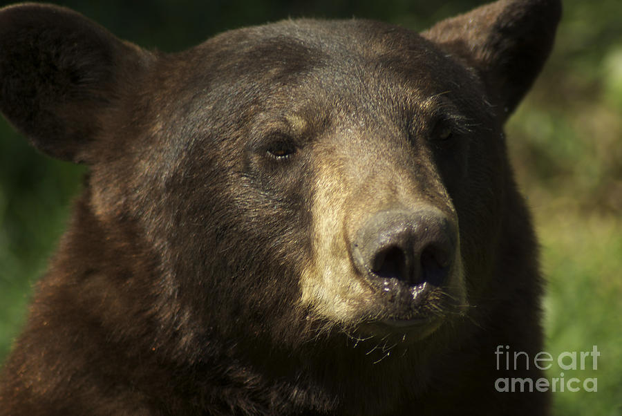 Brown Bear Photograph - Brown Bear by Jenny May